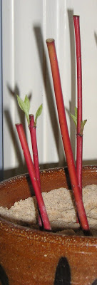 Red Twig Dogwood Propagation (Cornus stolonifera)