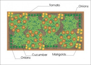 A Companion Planting Vegetable Garden Layout