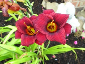 Daylily Hybridizing: My First Attempt