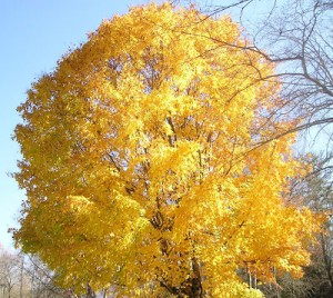 The Garden Blogger Fall Color Project