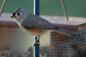 A Garden Regular: The Tufted Titmouse