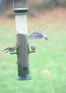 Birdwatching: Goldfinches at the Feeder