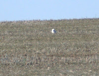 Snowy Owl Visits Spring Hill, TN