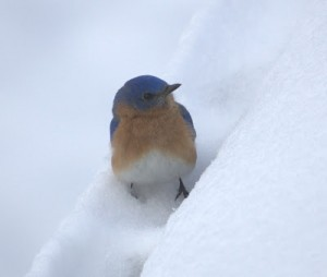 Bluebirds and the Garden in the Snow
