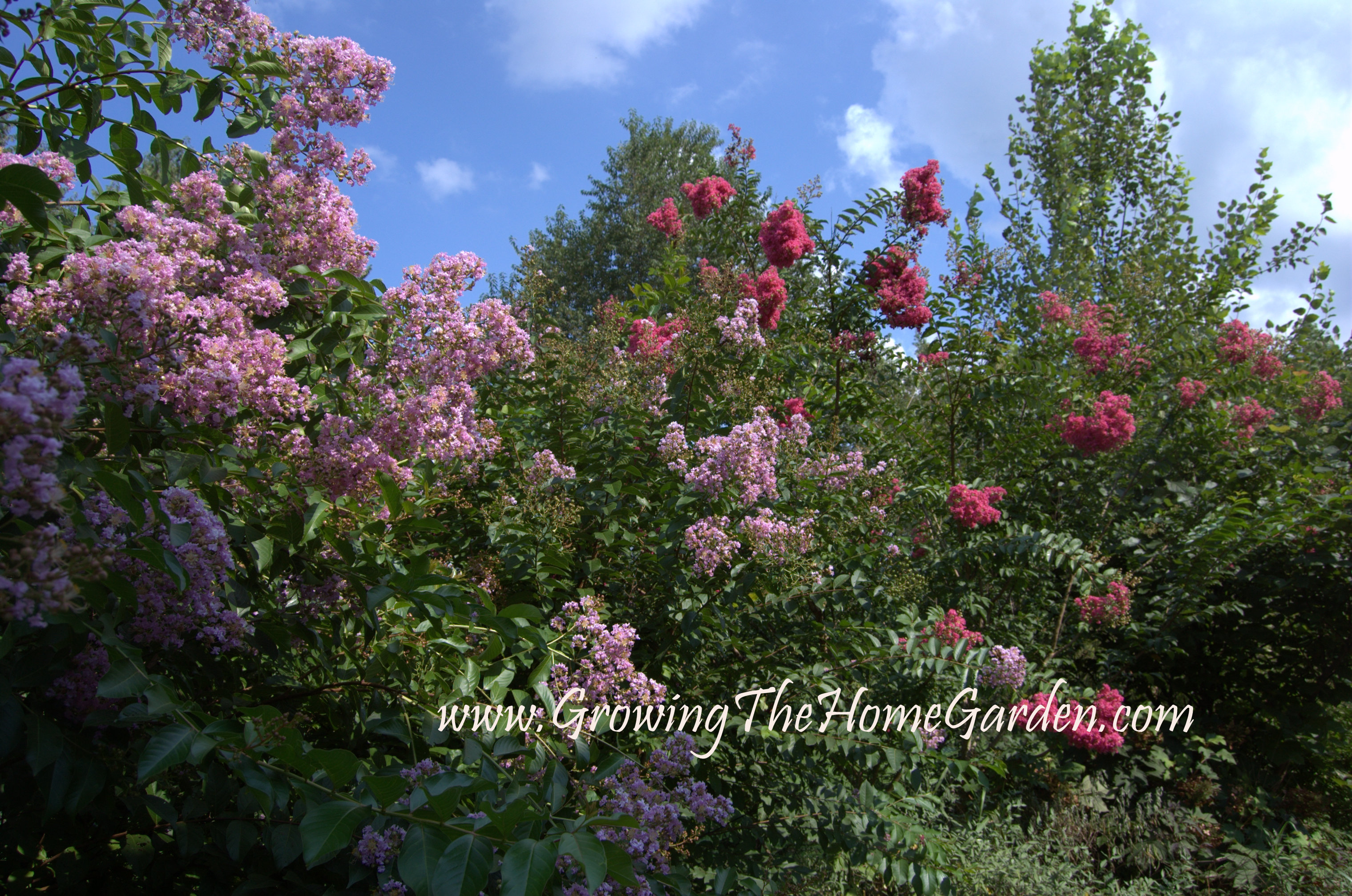 Crape Myrtle Propagation: Step by Step