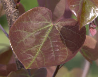 'Forest Pansy' Redbud (Cercis canadensis 'Forest Pansy')
