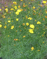 Coreopsis 'Moonbeam' (Tickseed)