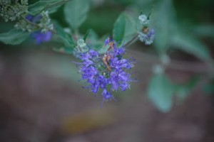 How to Propagate Caryopteris