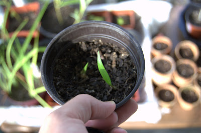 Propagation Update: Asiatic Lily and Viburnum