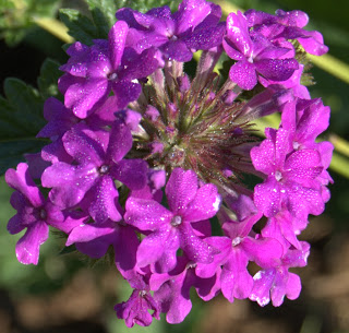 Propagating 'Purple Homestead' Verbena