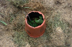 One Way to Protect a Small Plant from Rabbits