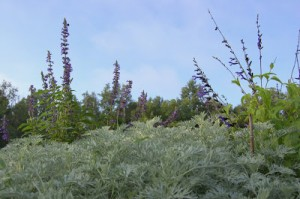 "Salvia Taller Than the Trees, ""Down on Your Knees"""