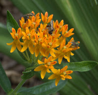 Asclepias Tuberosa Seeds (Butterfly Weed)