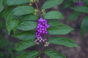 Propagating Beautyberry Through Cuttings