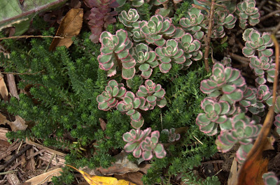 In the Garden of Sedum