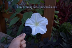 How Big is a Moonflower Bloom?