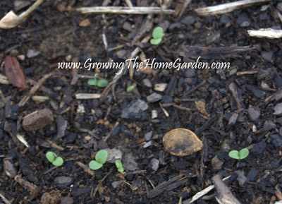Starting Lettuce from Seed in the Vegetable Garden