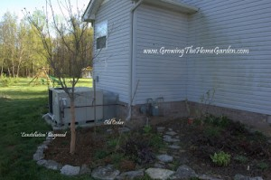 Tuesday's Tasks: Planting a Dogwood and Three Arborvitaes