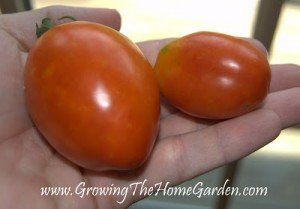 The First Ripe Tomatoes!