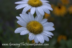 Double Dew Daisies – Photo Post