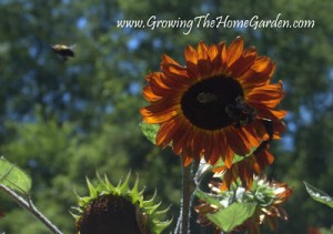 The Buzz on Sunflowers