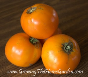 Woodle Orange Heirloom Tomato
