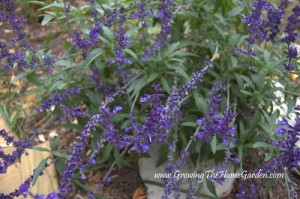 Salvia farinacea ('Blue Bedder')