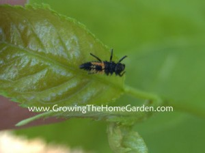 The Good Bug Files: Ladybug Larvae!