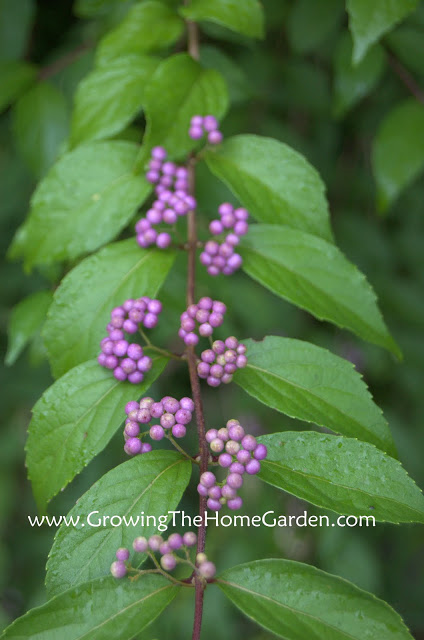 Beautyberry Berries In Color