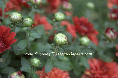 Red Mums (Photo Post!)