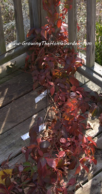Virginia Creeper – The Other Red Vine in Fall!