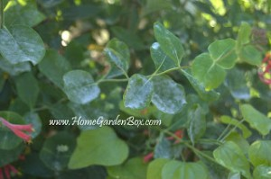 Powdery Mildew and How to Fix It!