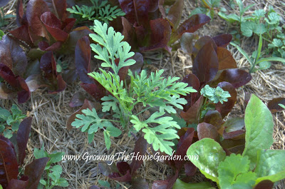 Weedy Wednesday: Ragweed Seedlings