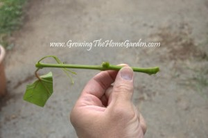 Propagating Grape Vines with Greenwood Cuttings