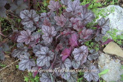 5 Heucheras and How They Perform