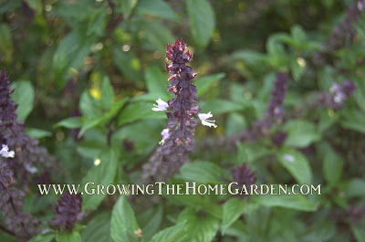 Basil as a companion plant for tomatoes