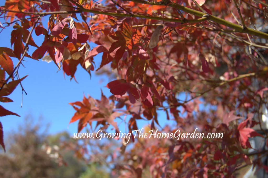 Japanese maples seeds (Samara) in fall