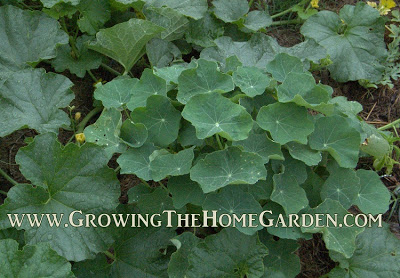 Nasturtiums as a companion plant for tomatoes
