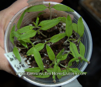 Seed Starting in Plastic Cups