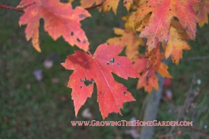 'Brandywine' Maple (Acer rubrum) is Great for Fall Color