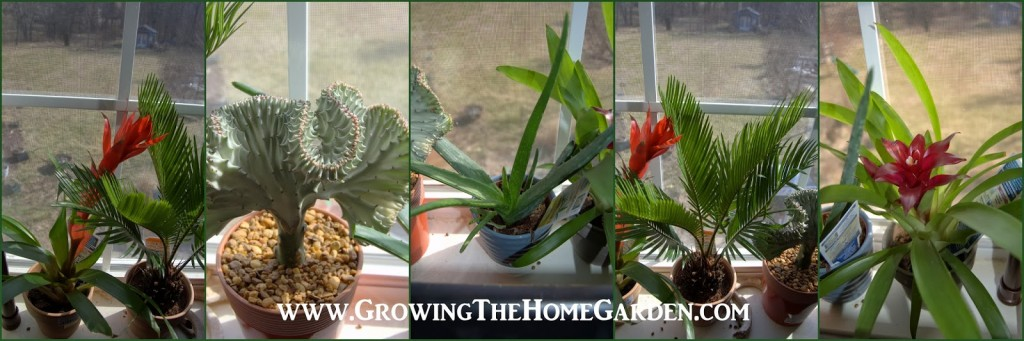 I Filled Up The Window With Some Colorful Indoor Plants. Including A Really  Cool Coral Cactus That Mimics Structures In The Coral Reef, Two Bromeliads,  ...
