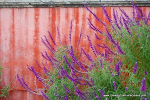 Planting Ideas: Salvia with a Red Backdrop