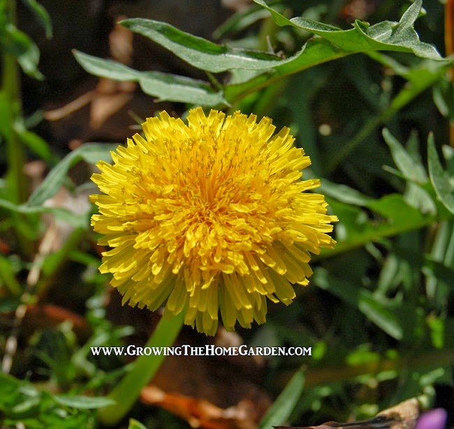 What is a Dandelion Good For?