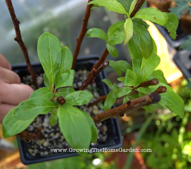 Fruiting Plum Trees - Rooted with Hardwood Cuttings
