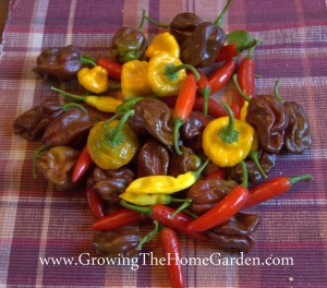 Growing Heirloom Hot Peppers