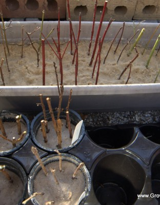 Growing Plants from Hardwood Cuttings