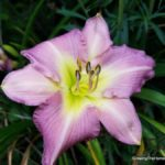 Crossing Daylilies