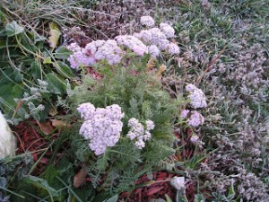 Frosts didn't claim this achillea! At least not yet.