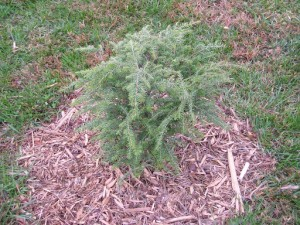 Plant of the Week:Hemlock