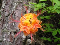 Plant of the Week: Flame Azalea